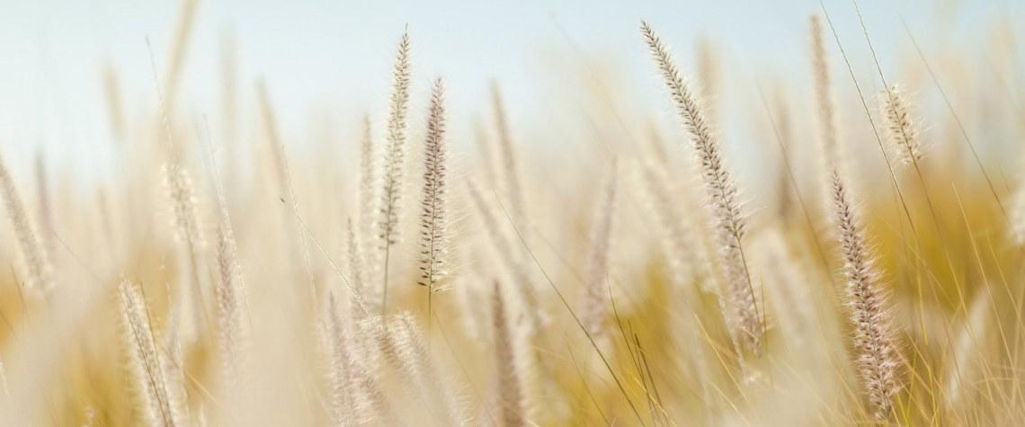 wheat-690912_1920